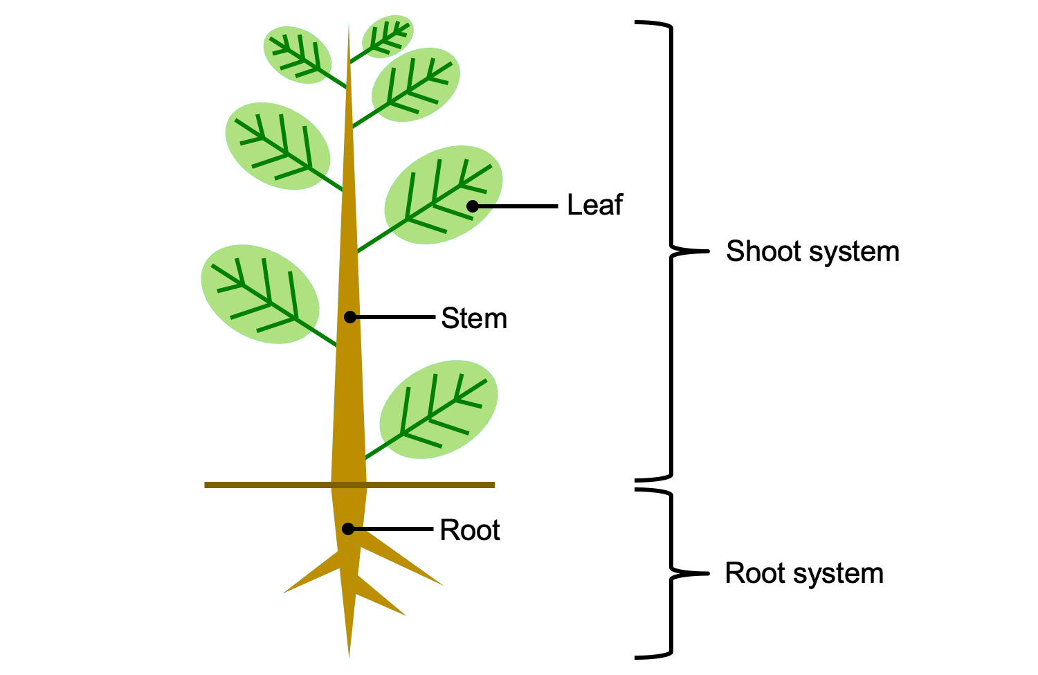 Simple illustration of a plant showing the organs (leaf, stem, and root) and systems (shoot system, root system)