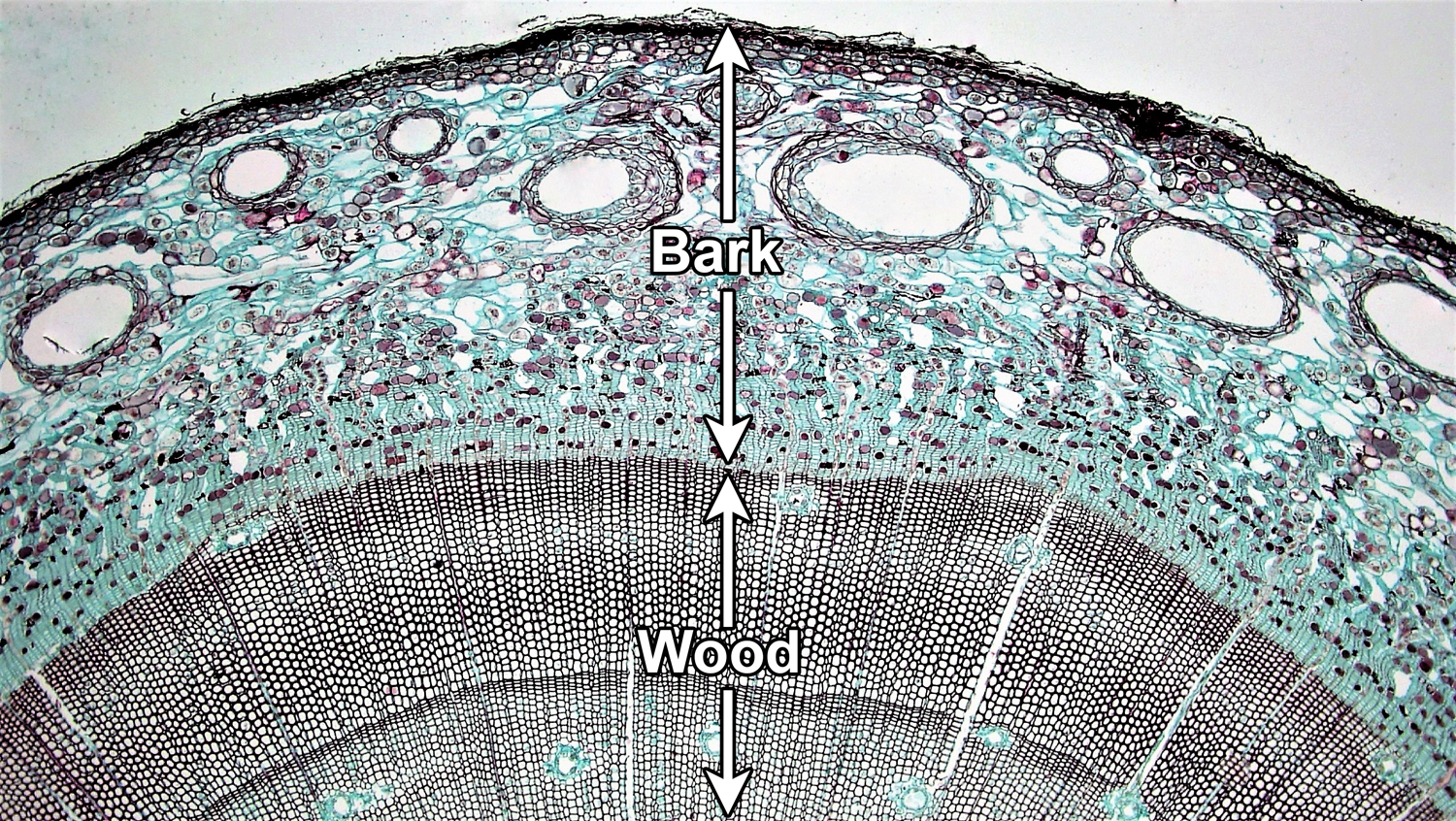 Photo showing a cross section of a pine stem with internal wood and external bark labelled.