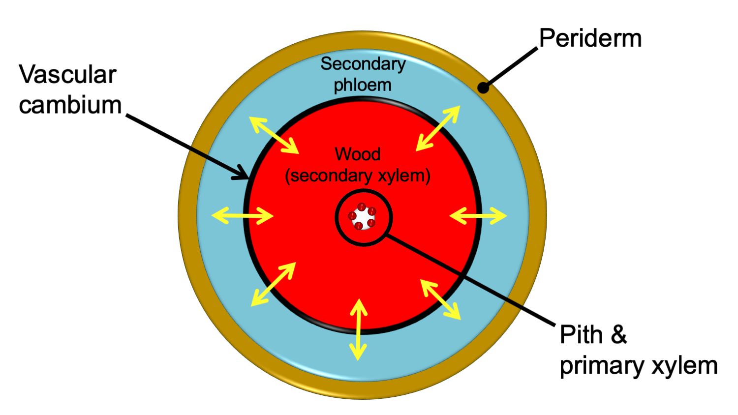 Diagram of a stem with secondary growth in transverse section. The secondary xylem forms a continuous ring internal to the secondary phloem.