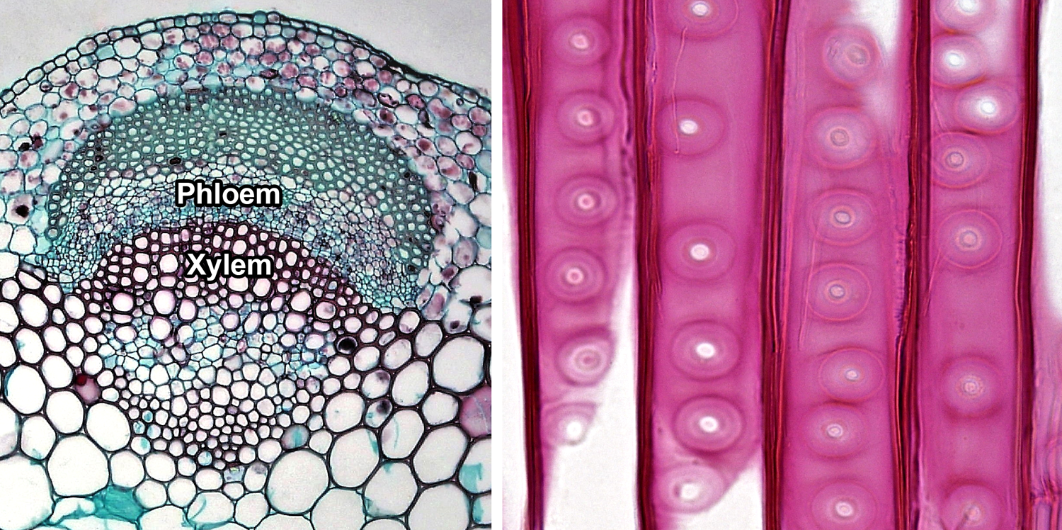 2-Panel figure showing photos of vascular tissue. Panel 1: Cross section of vascular bundle showing xylem and phloem. Panel 2: Longitudinal section of tracheids in pine wood.