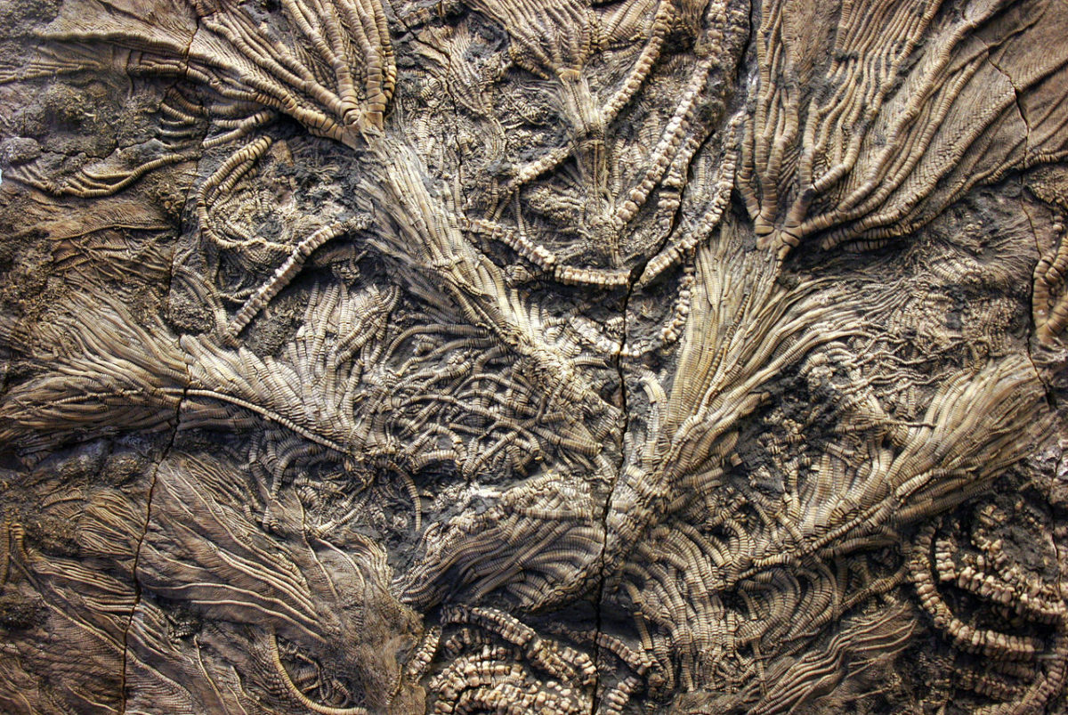 Fossil crinoids from the Jurassic
