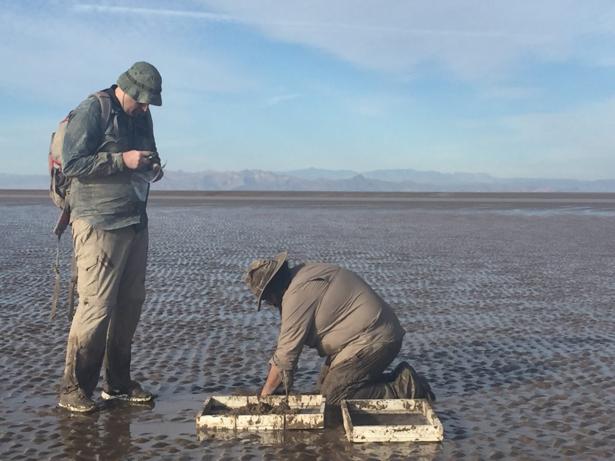 sampling a tidal flat for clams and snails