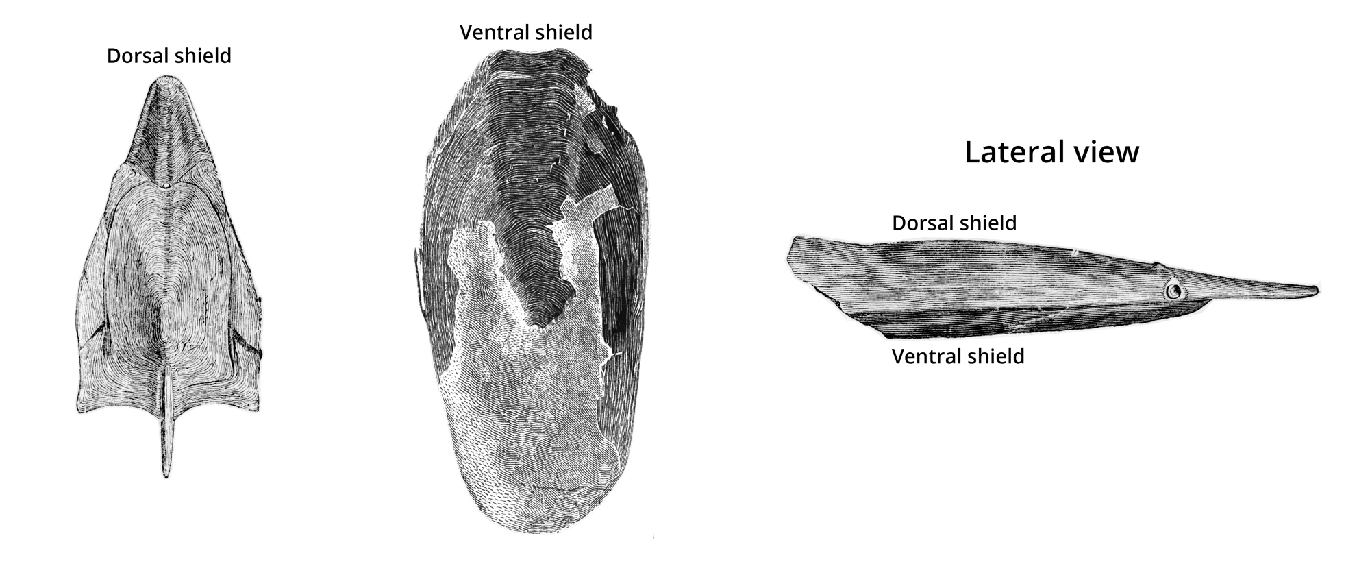 Image showing the dorsal and ventral headshields of Pteraspidomorphs.