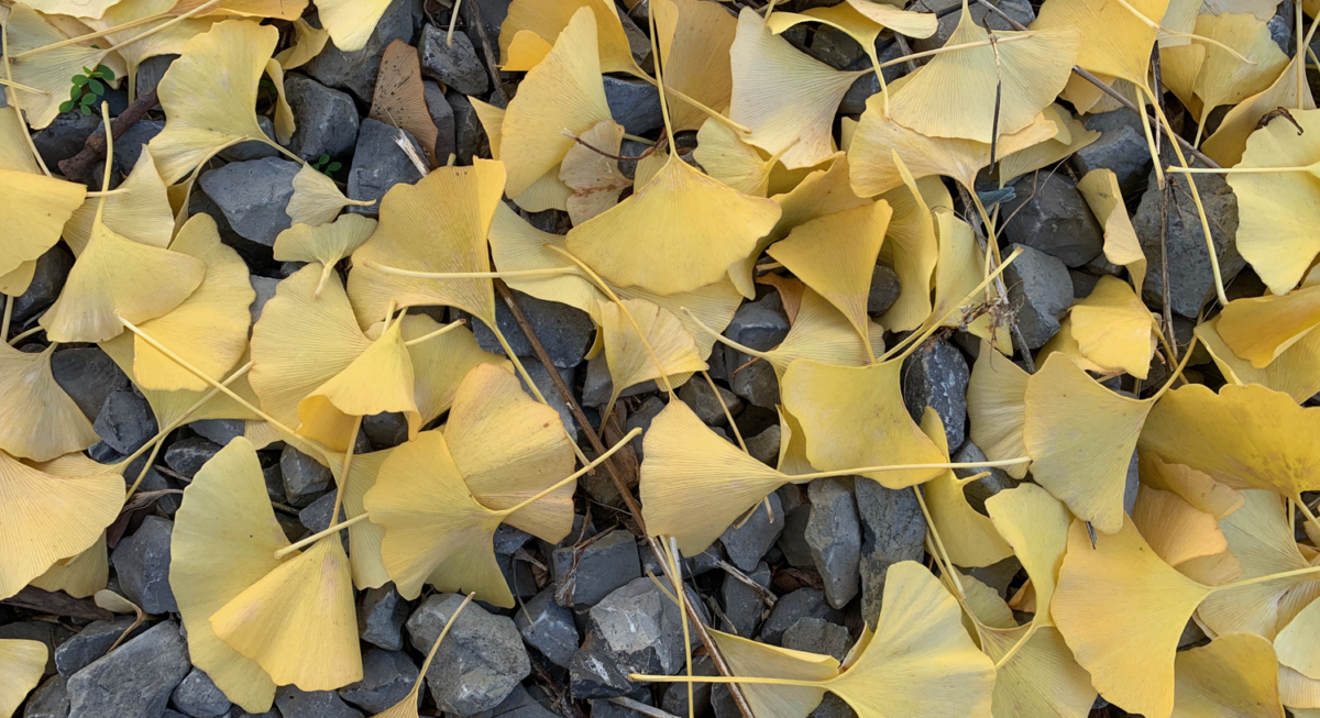 Photo of yellow ginkgo leaves on gray stones.