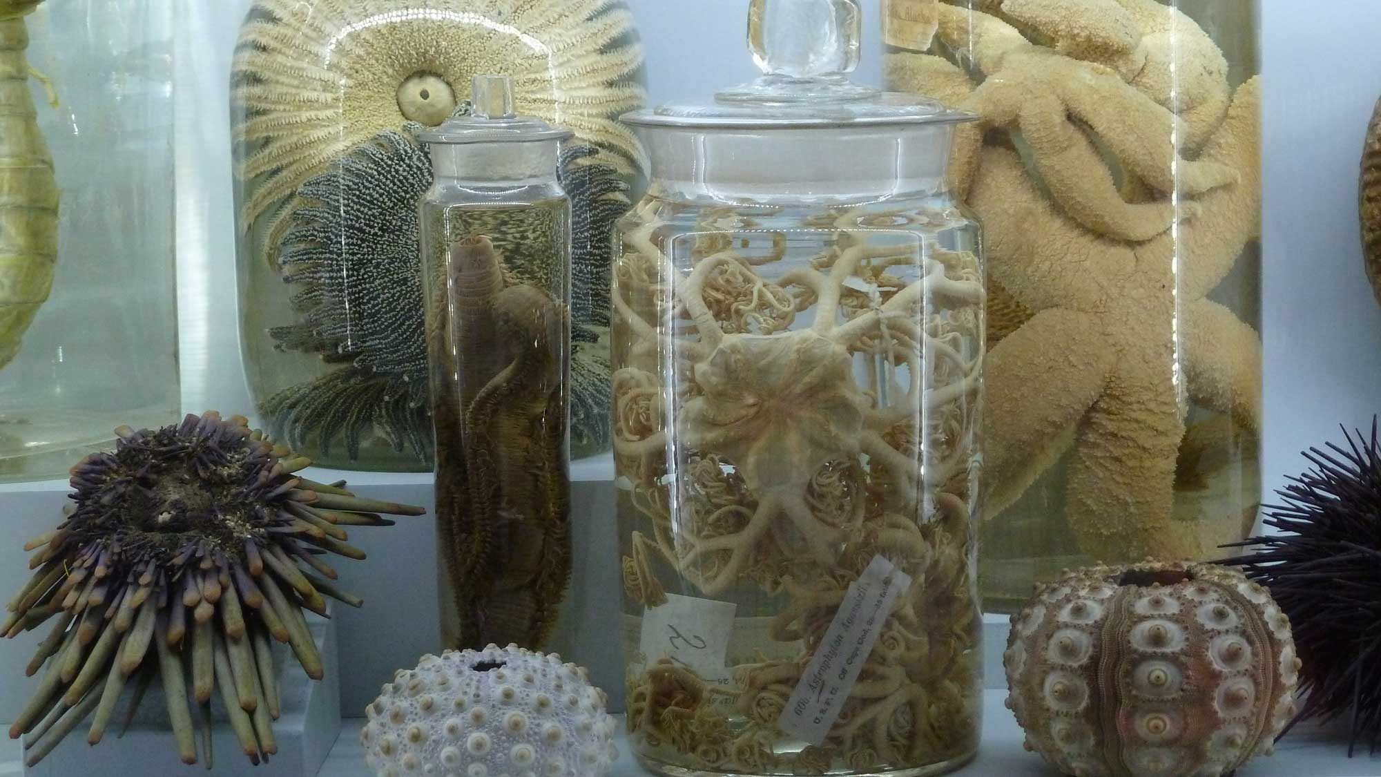 Image shows a variety of modern echinoderm specimens.