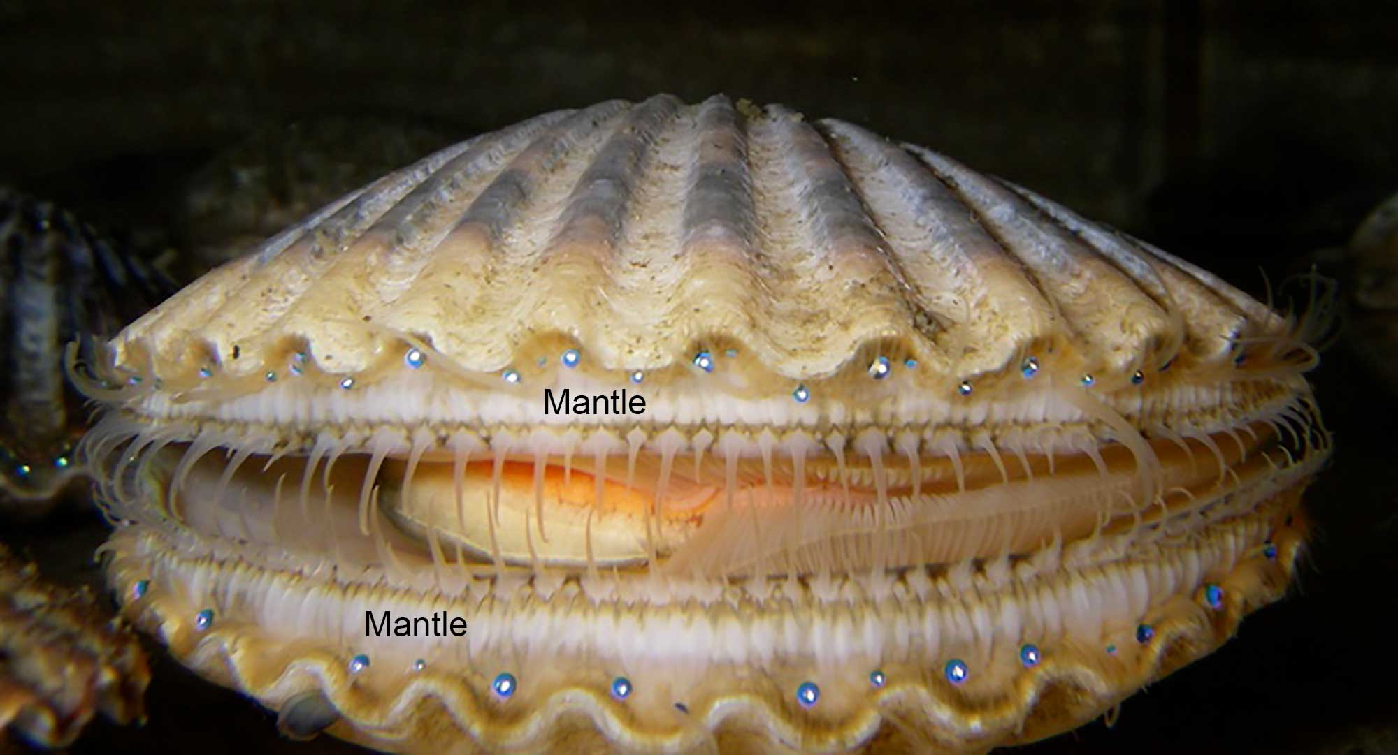 Photograph of a live scallop with its mantle (which bears eyes) labeled.