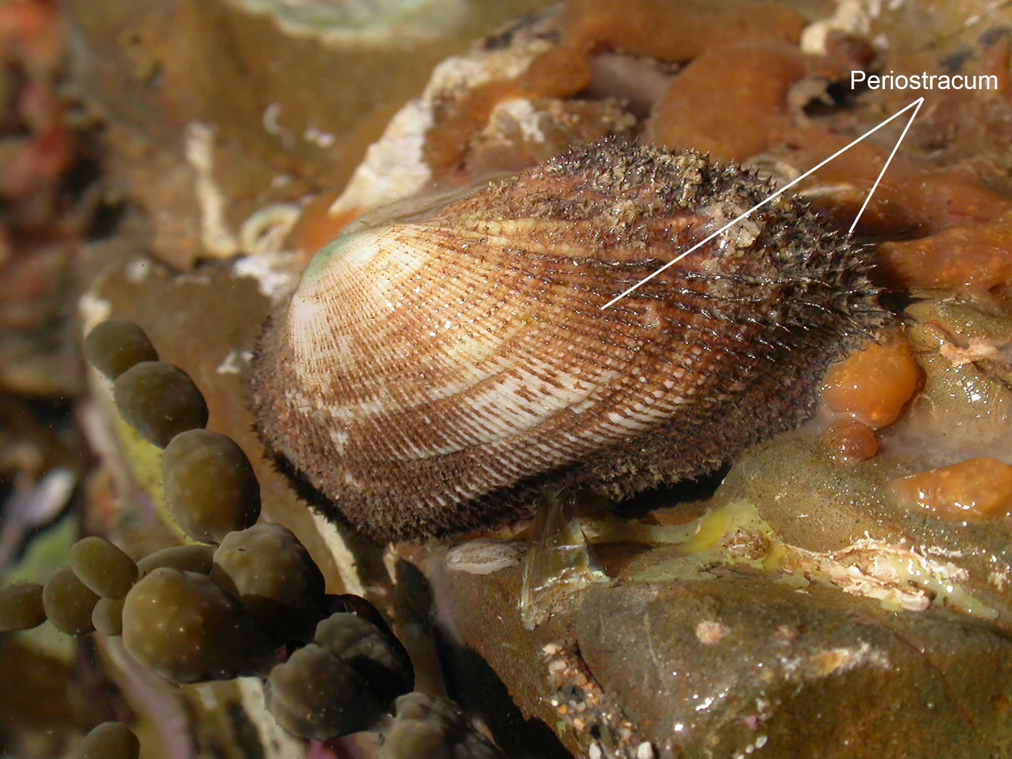 Photograph of a banded ark shell with the periostracum labeled.