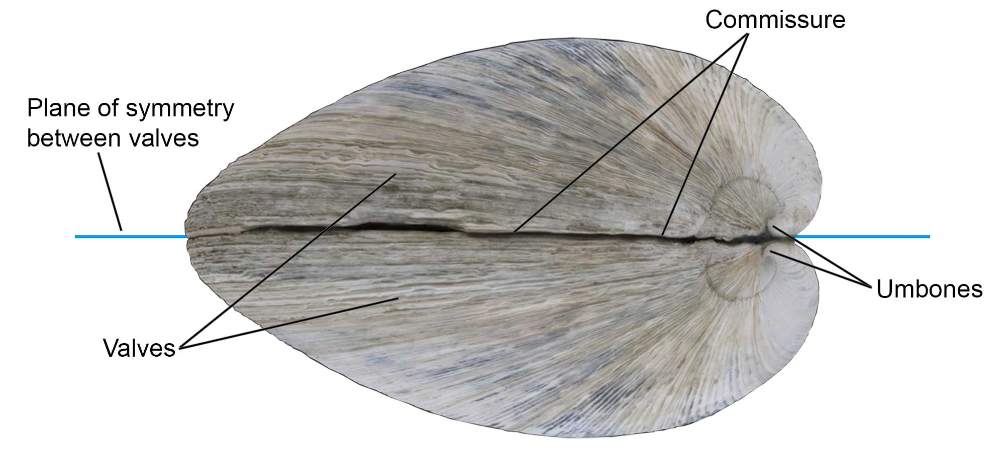 External features of the bivalve shell, including valves, commissure, and umbones.