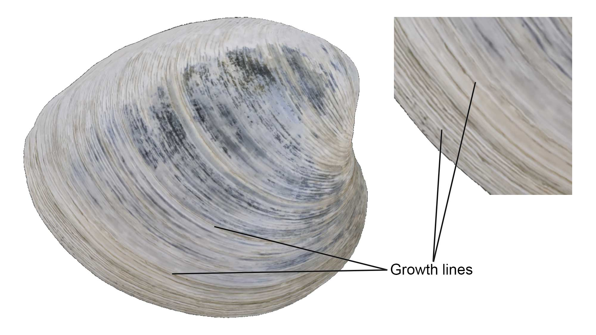 Growth lines on a specimen of clam.
