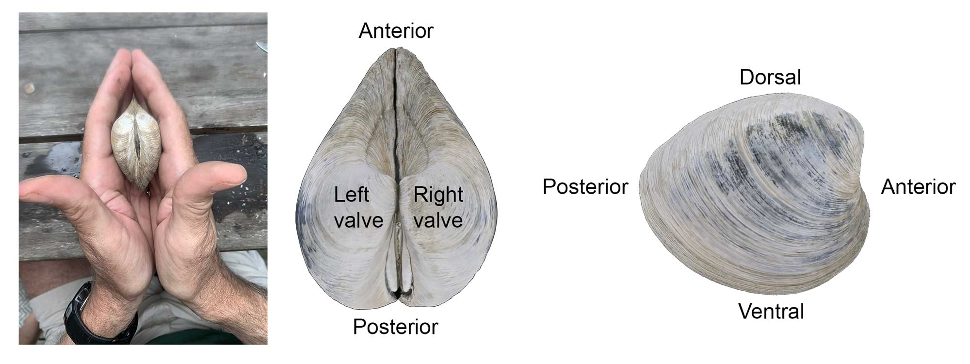 Illustration showing how to differentiate a left and right valve on a clam, as wells the relative orientations of the dorsal, ventral, posterior, and anterior sides of a clam shell.