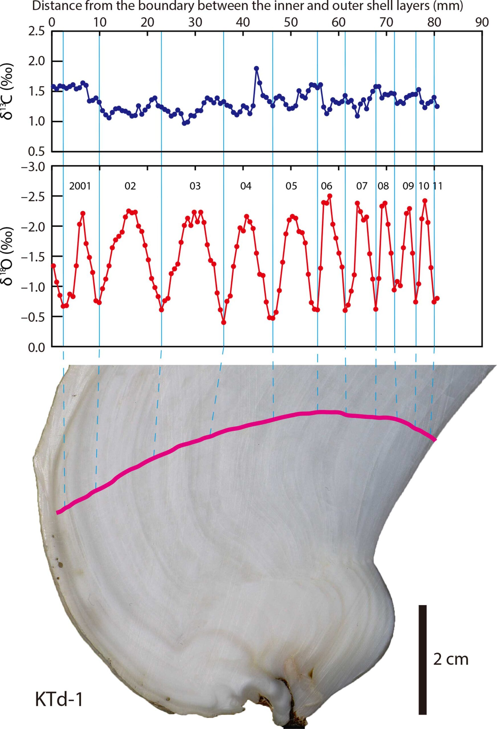 Illustration showing the relationship between isotope values and the position from which they were sampled along a growth line on a bivalve specimen.