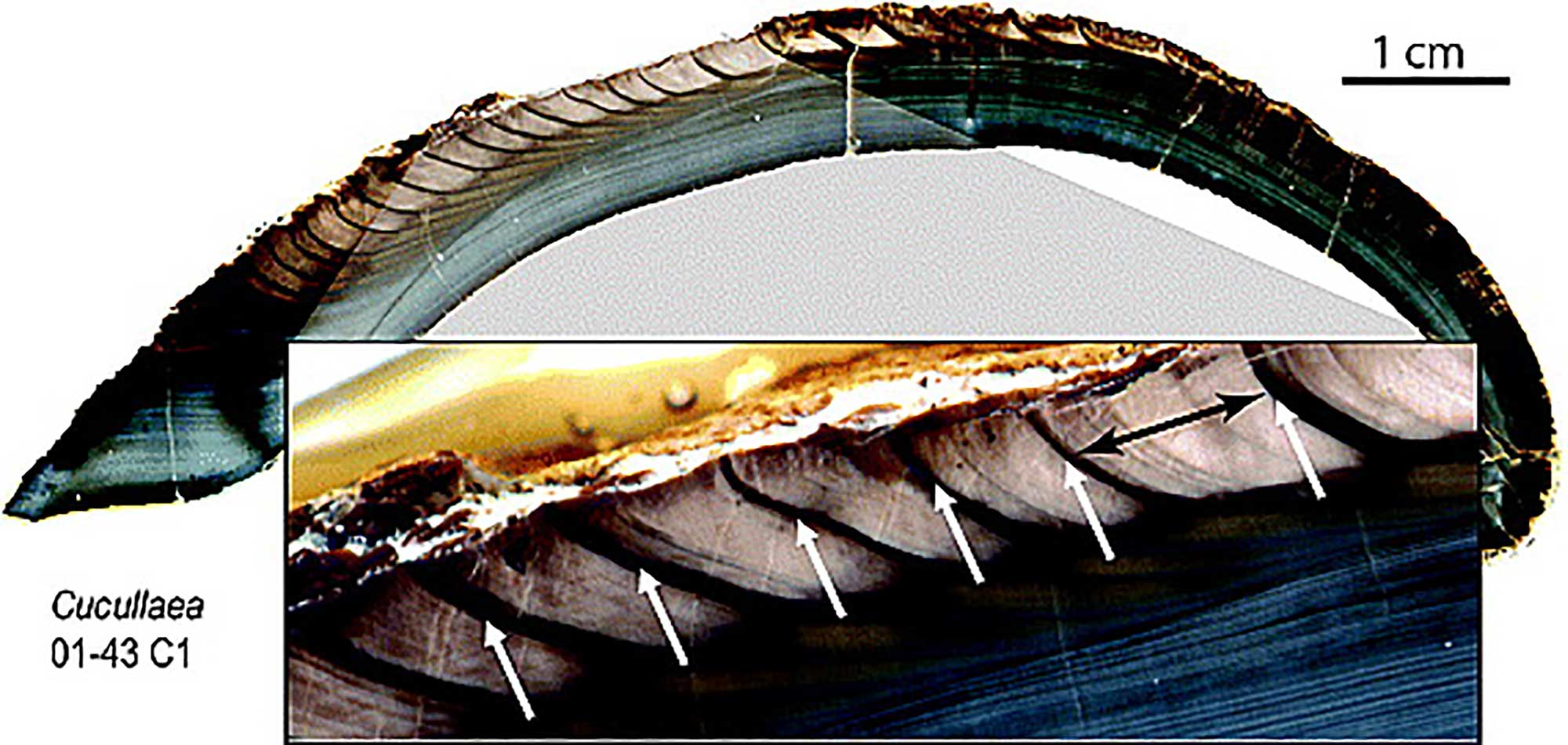 Image showing a cross-section through the shell of a clam, illustrating annual growth bands.