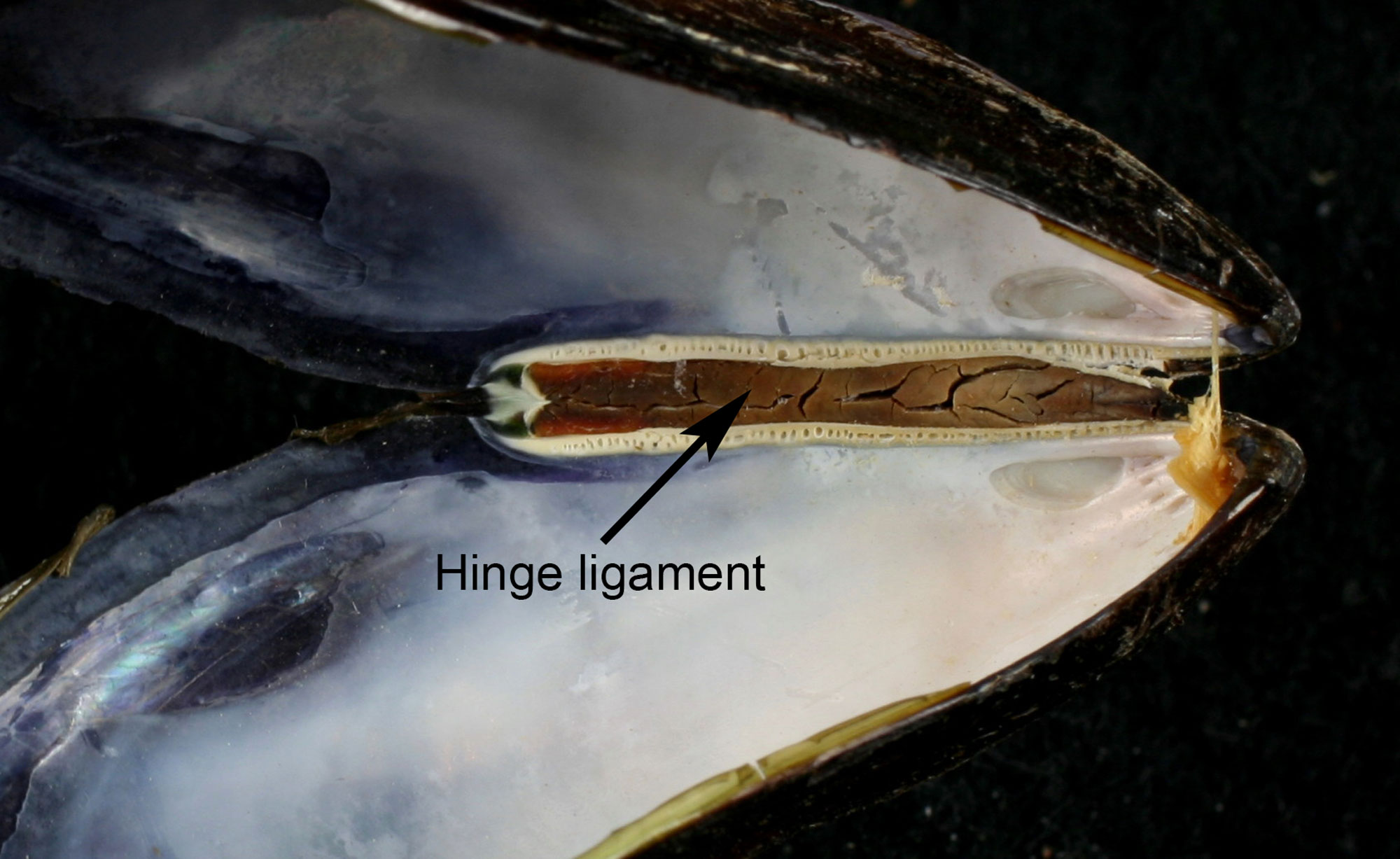 Photograph of a mussel shell with the position of the ligament identified.