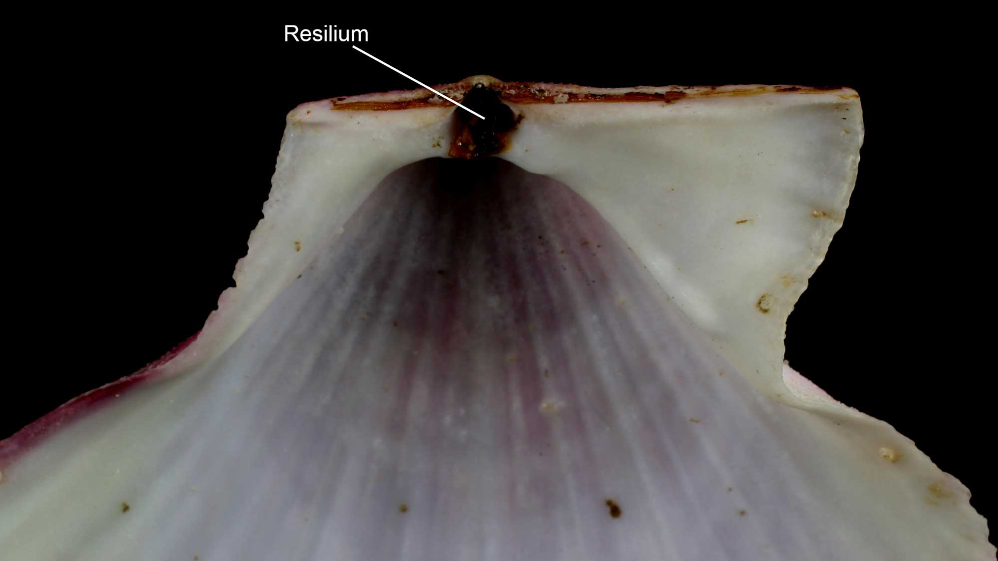 Photograph of a scallop shell with the resilium labeled.