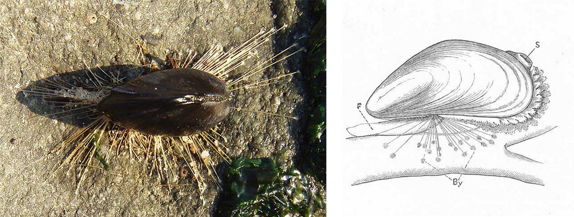 Image showing a photograph and drawing of bivalves attached to hard substrates with byssal threads.