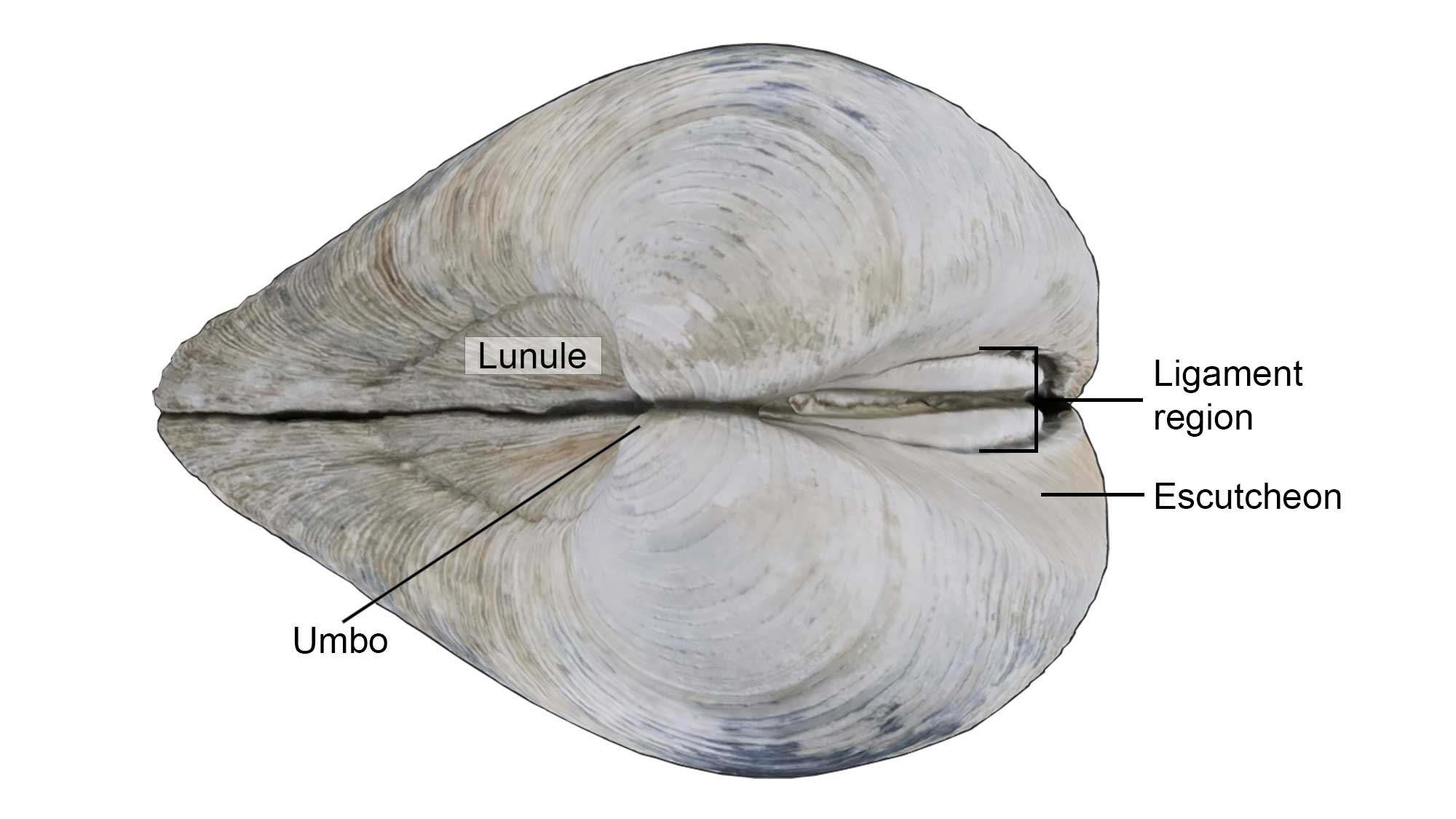 External features of the bivalve shell, including the lunule, escutcheon, ligament region, and umbo.