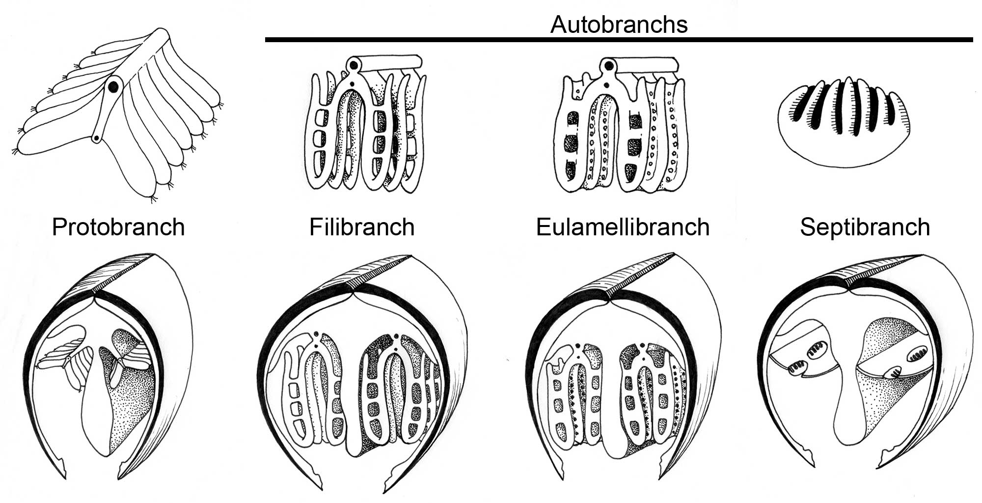 Illustrations of eight different gill arrangements in bivalves.