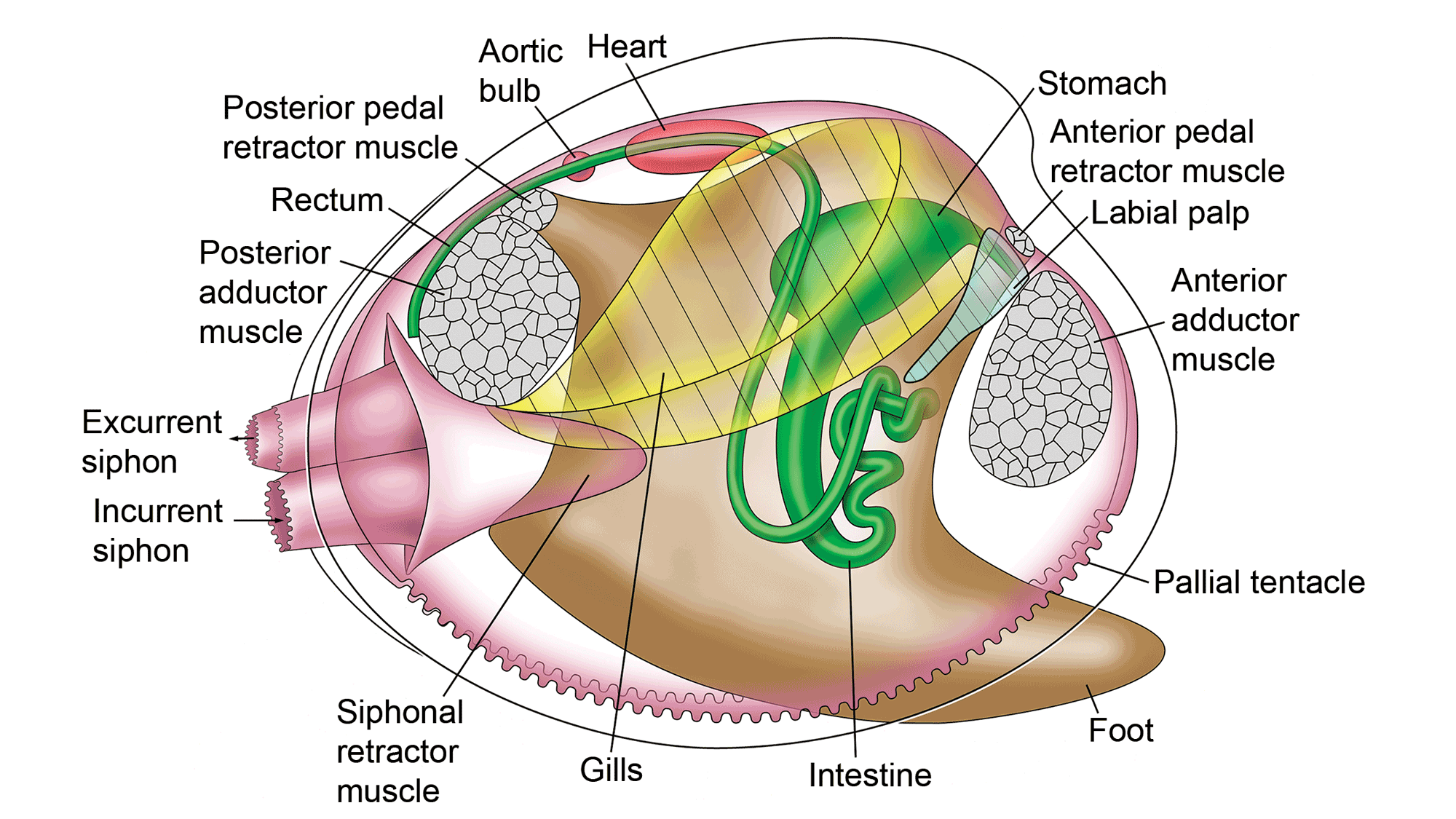 Illustration showing the internal anatomy of a bivalve, with the different parts labeled.