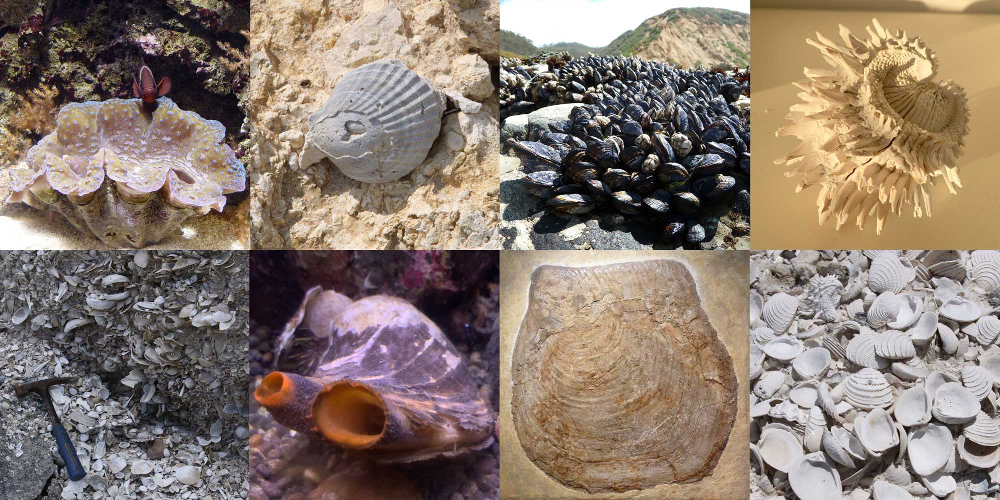Image showing photographs of modern and fossil bivalves.