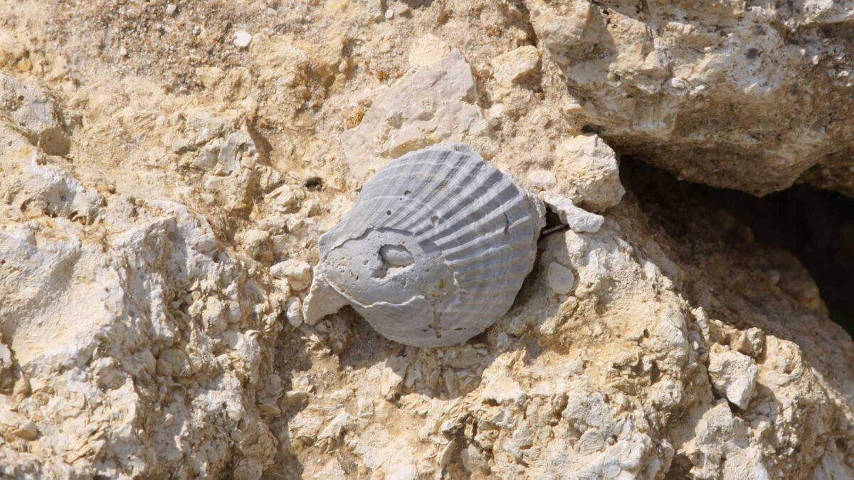 Photograph of a fossil scallop shell from the Eocene Ocala Limestone of Florida.