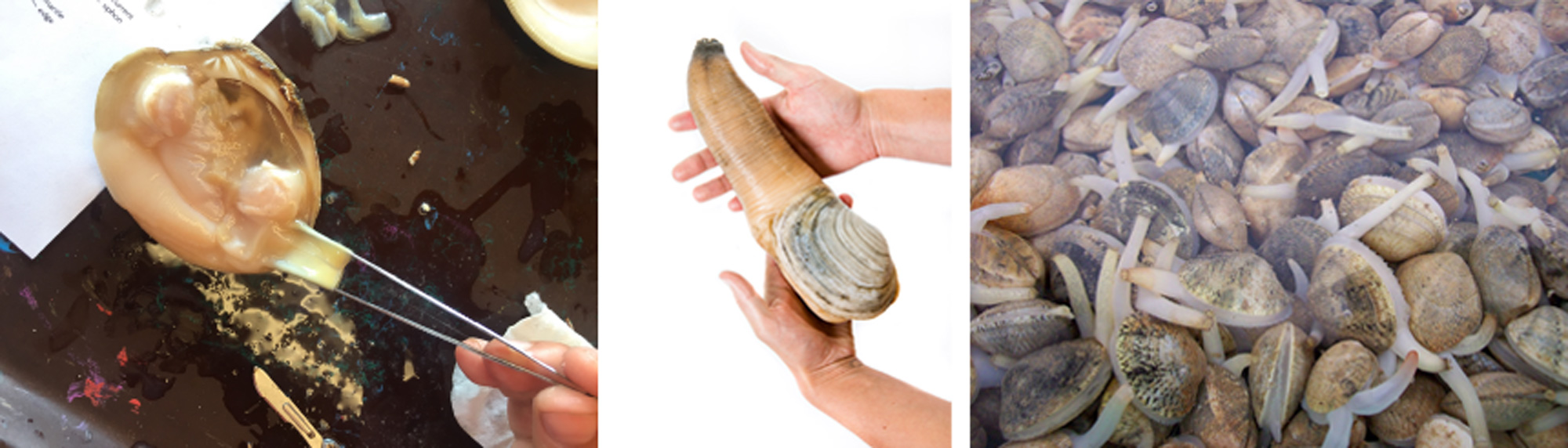 Image showing three photographs of siphons in various bivalves.