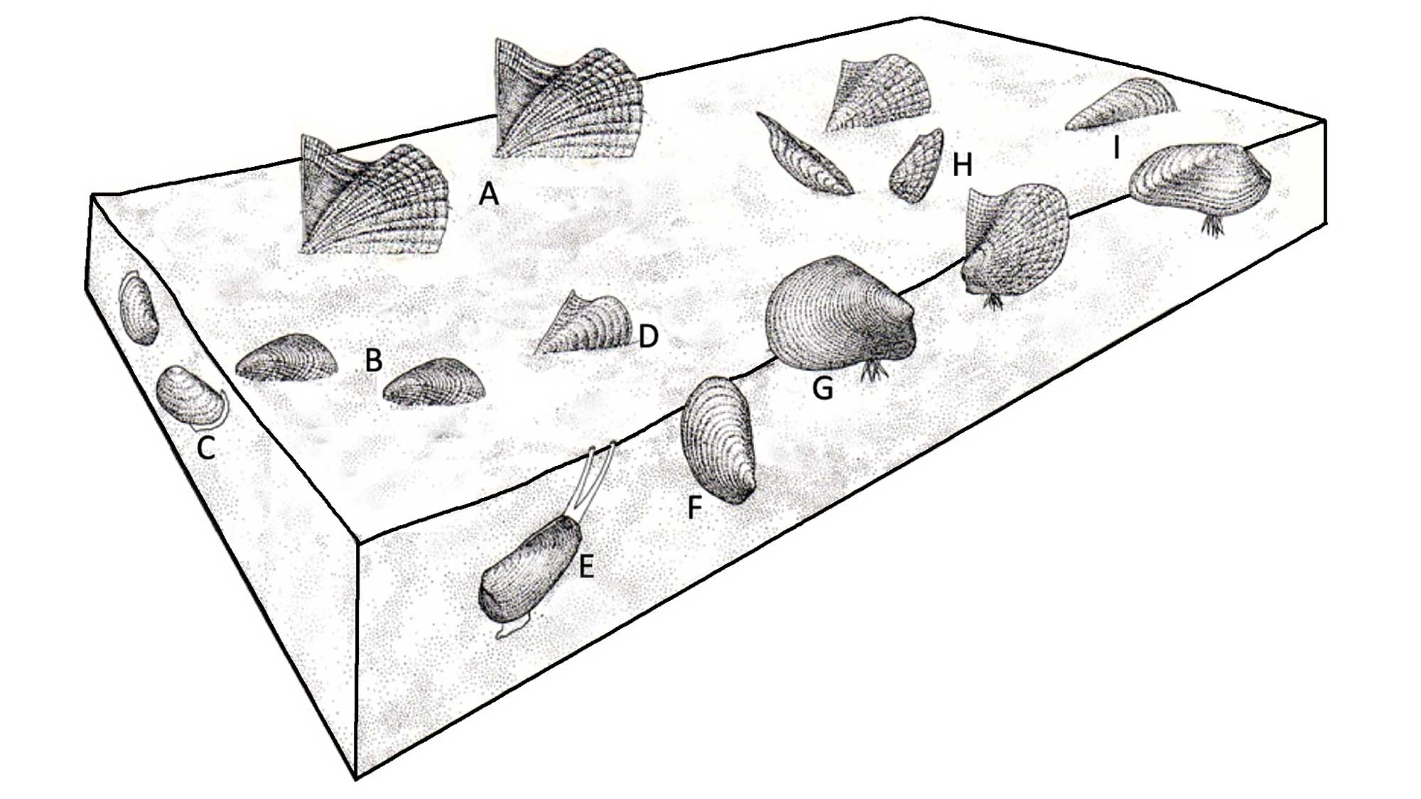 Illustration of the life habits of Devonian bivalves.