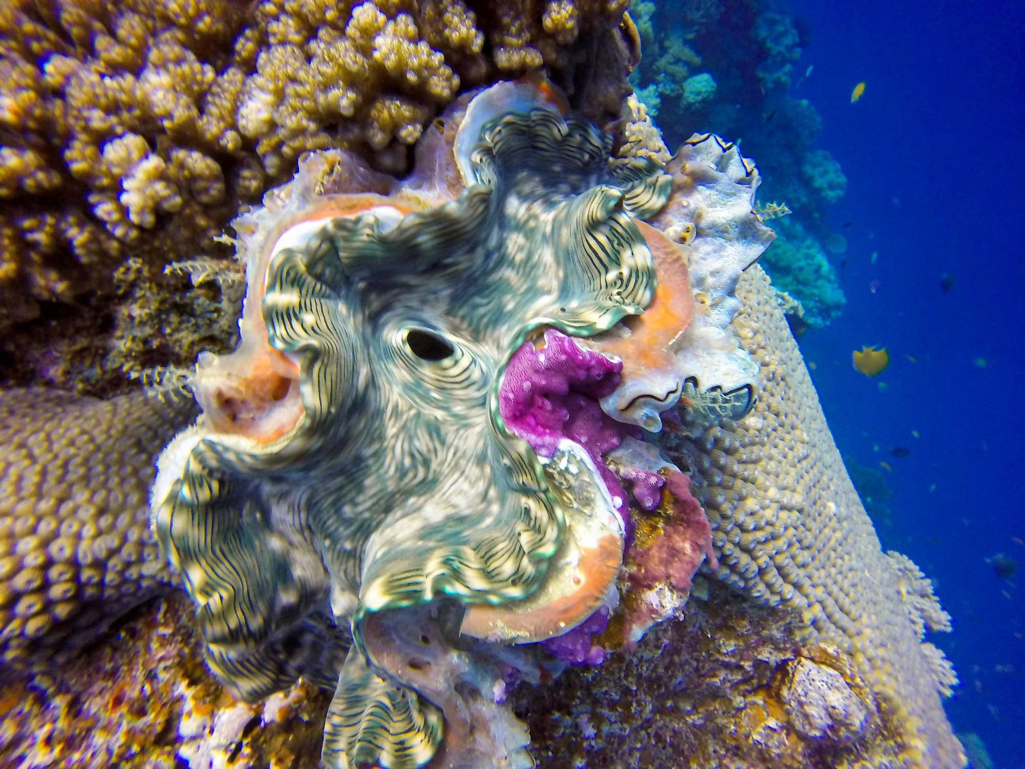 Photograph of a live giant clam.