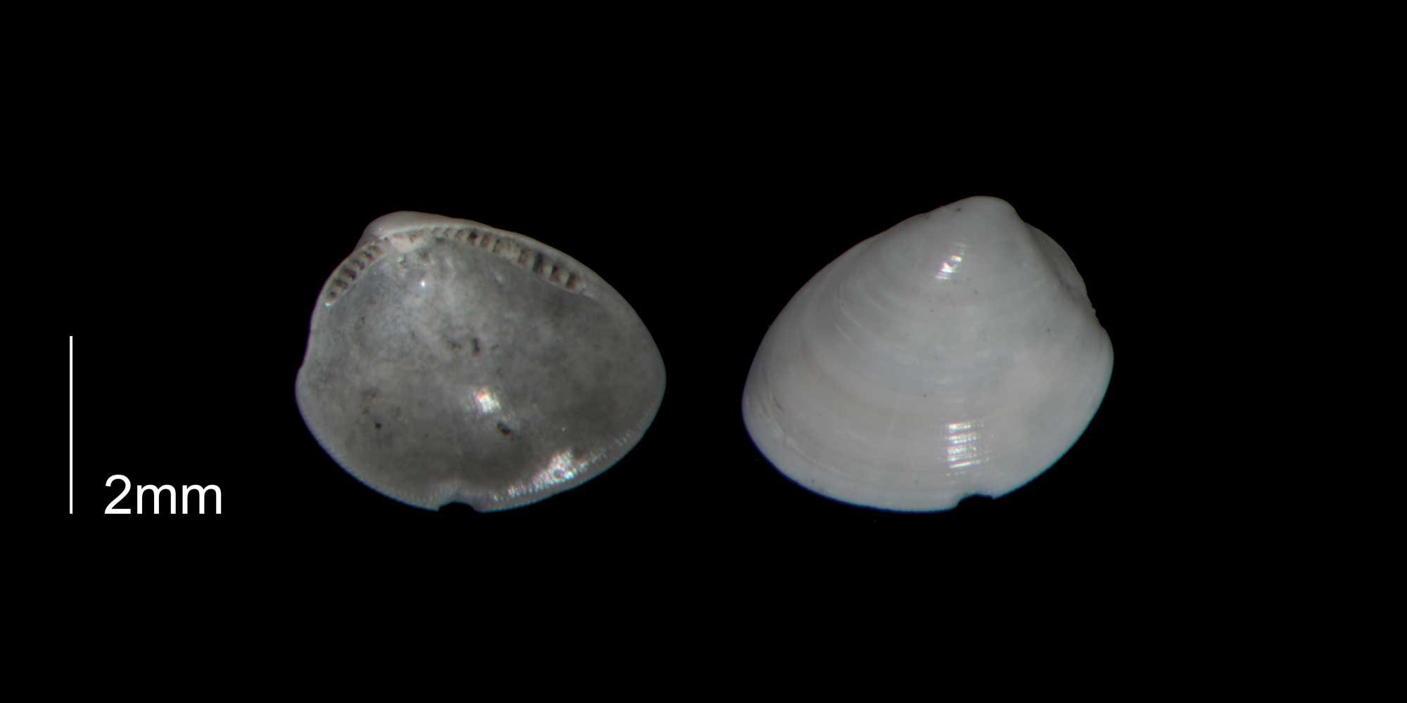 Photographs of Nucula proxima.