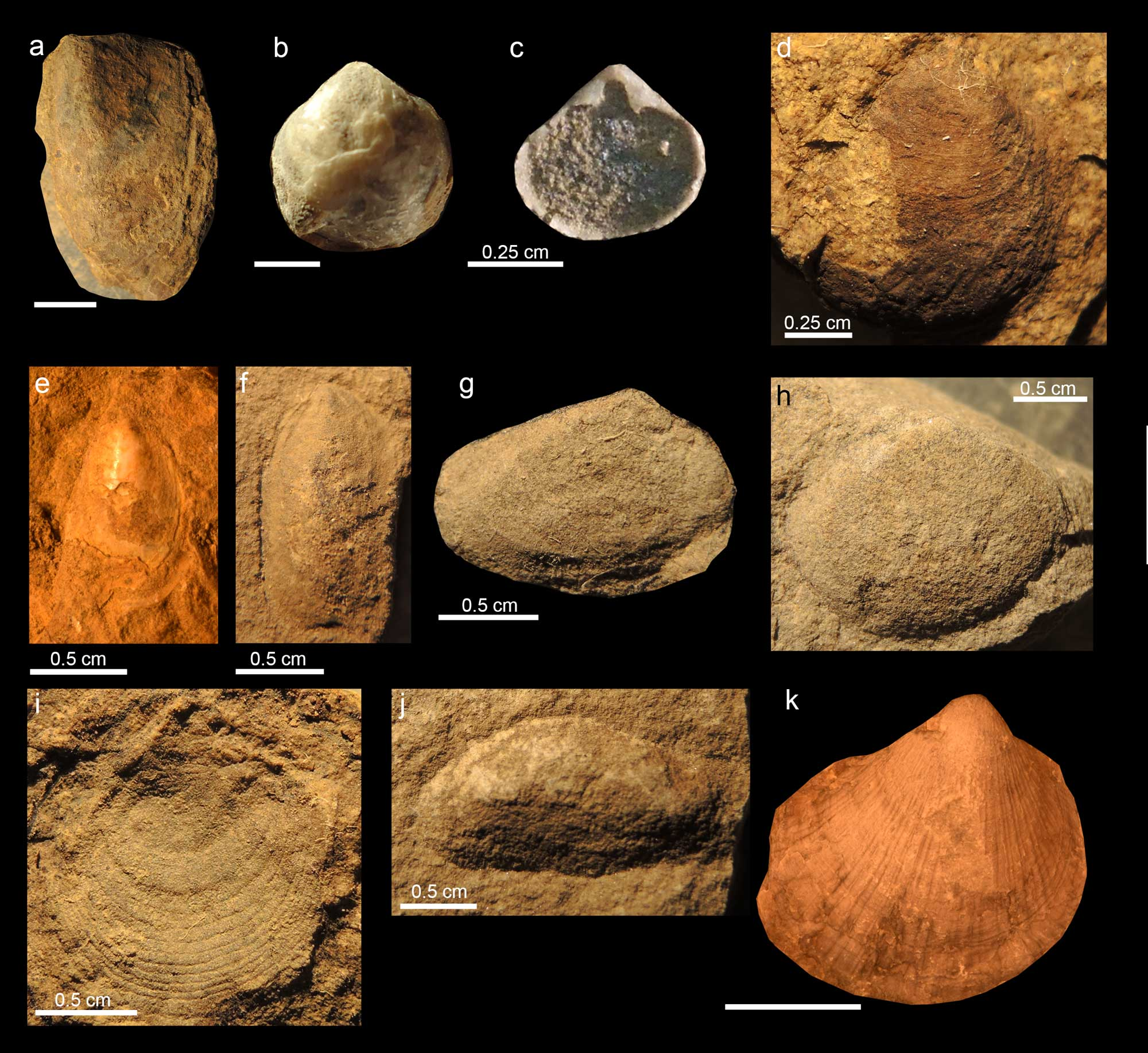 Photographs of Triassic bivalve specimens.