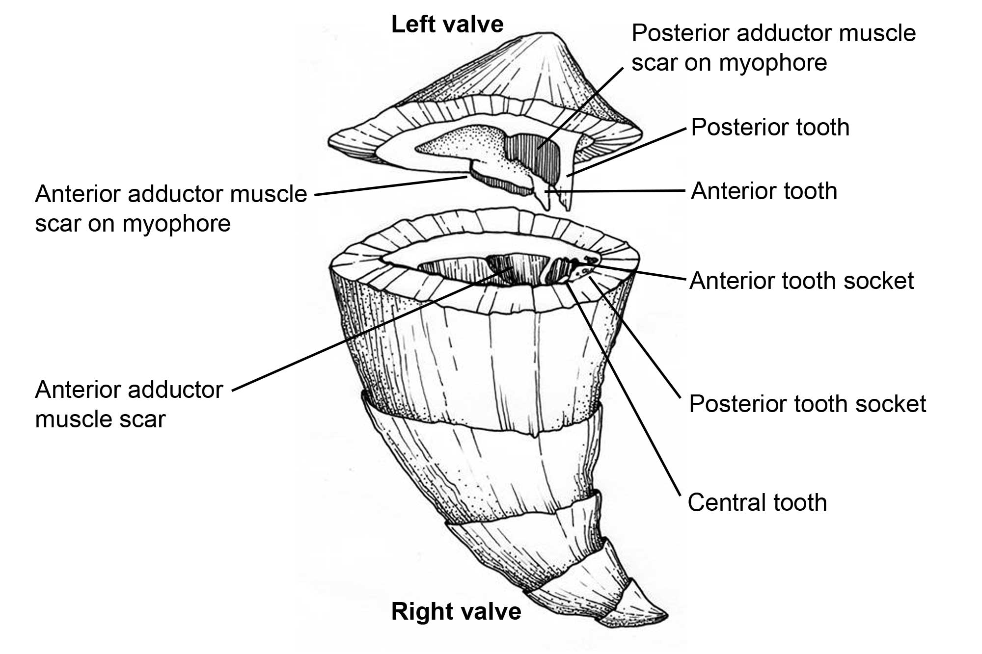 Illustration showing the parts of a rudist shell.