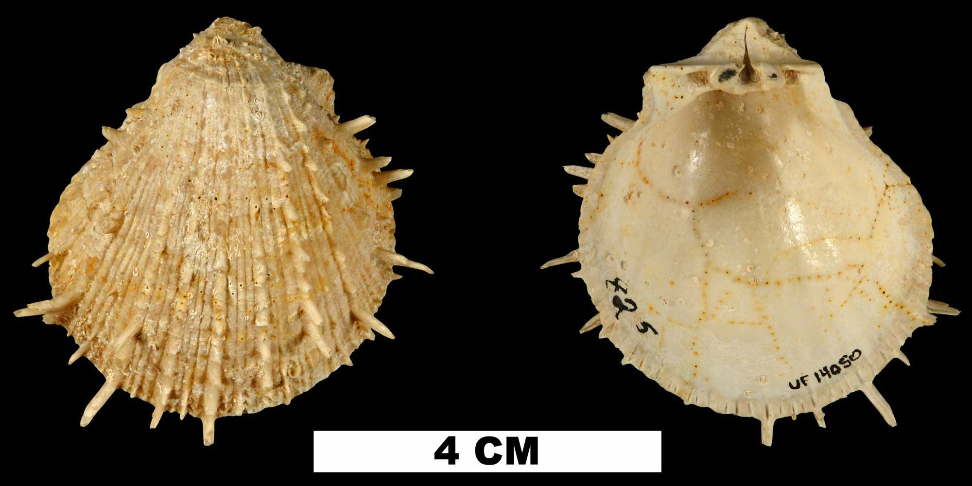 Photographs of Spondylus chipolanus.