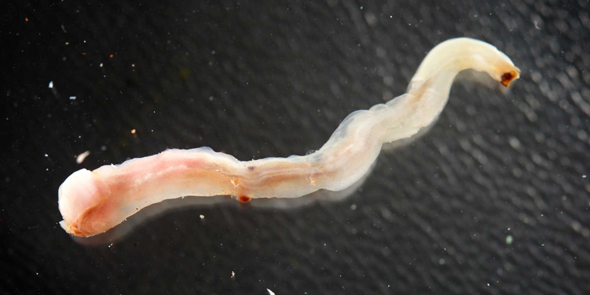 Photograph of the shipworm Teredo clappi removed from its tube.