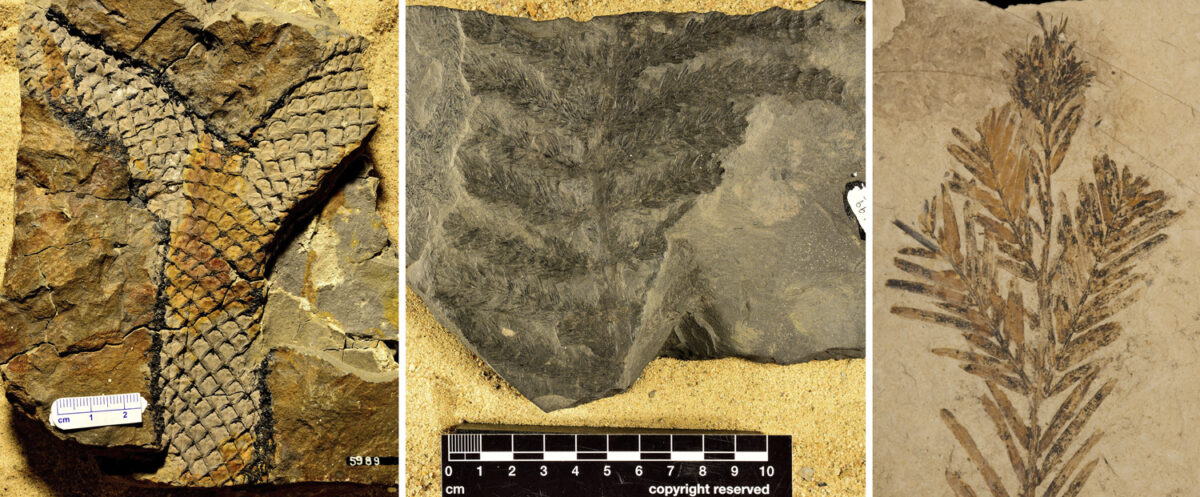 3-Panel figure, photos of fossils preserving branches. Panel 1: Apical branching in Lepidodendron. Panel 2: Non-axillary lateral branching in Asterophyllites. Panel 3: Axillary lateral branching in dawn redwood (Metasequoia)