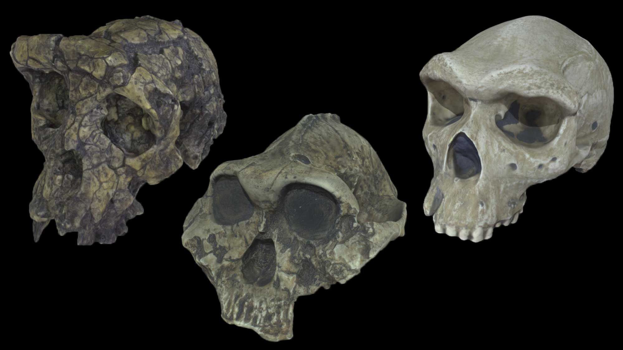 Image showing 3D scans of the skulls of three ancient hominids.